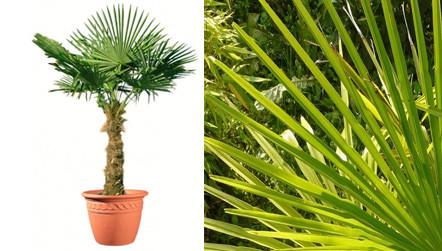 palmier de chine en pot 40 60 cm de haut vente priv e bourges infoptimum. Black Bedroom Furniture Sets. Home Design Ideas