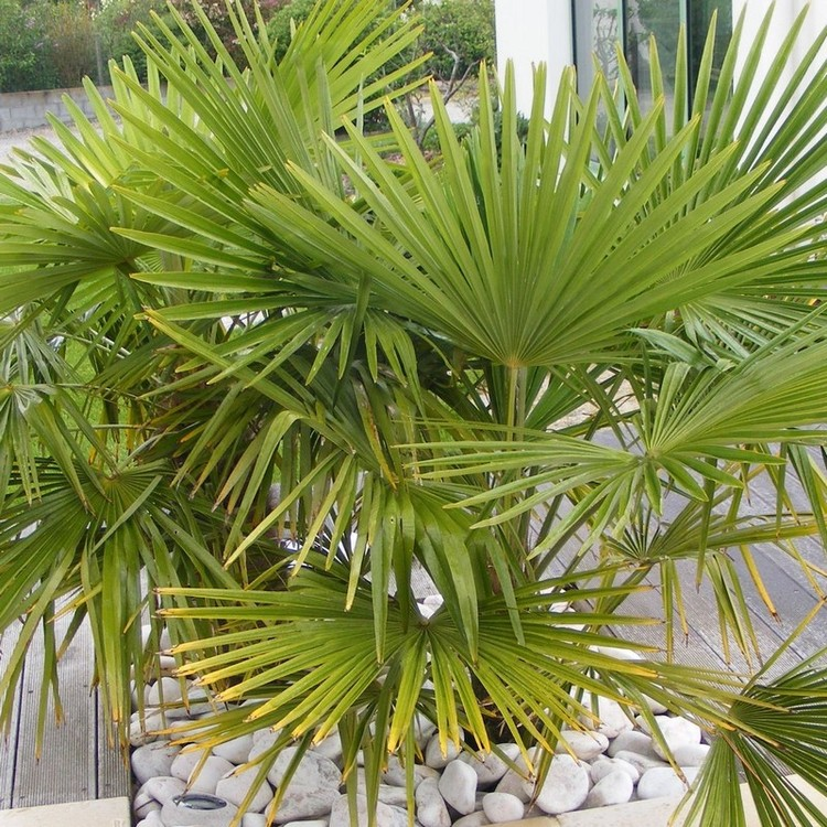 Palmier de chine en pot 40 60 cm de haut vente priv e bourges infoptimum - Pot pour palmier ...