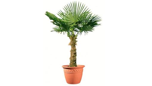 Palmier de chine 50 cm en pot 10 l vente priv e bourges for Entretien palmier exterieur
