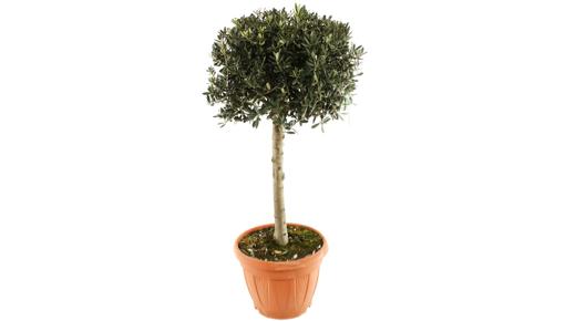 Olivier de forme toscane 150 cm en pot 35 l vente priv e - Toute les vente privee du moment ...