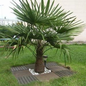 Palmier de chine en pot 200 225 cm de haut vente priv e - Vente privee jardinage ...